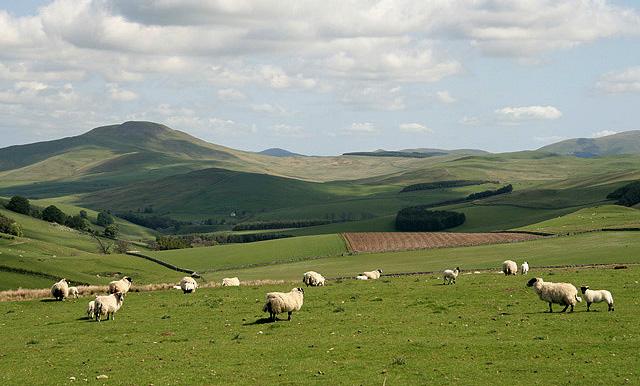 Sheep_at_Threstle_Bog