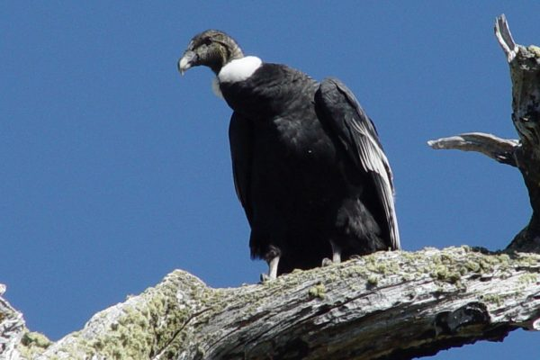 Photograph of a condor perched on a log against a blue sky.