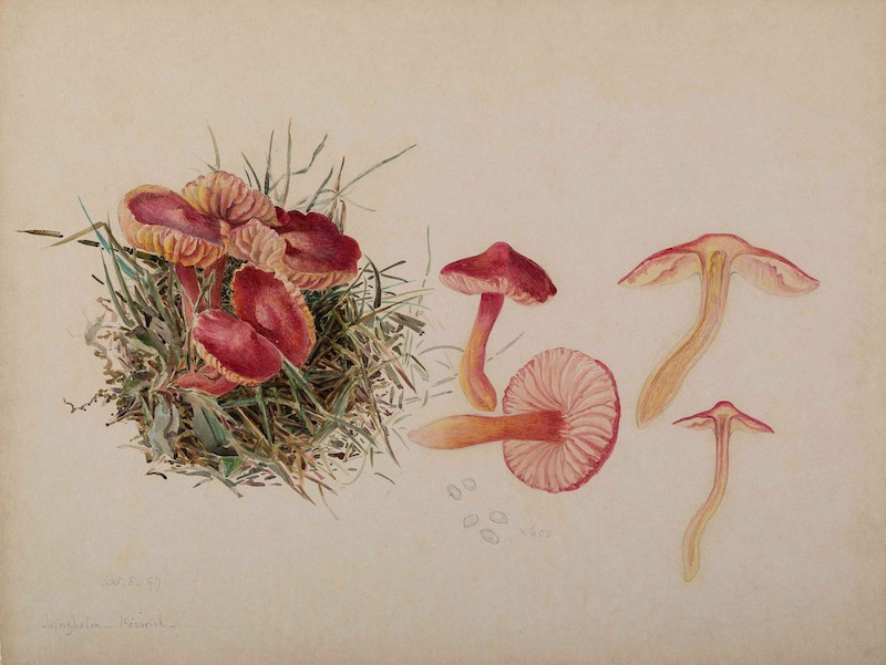 Mycological illustration of various mushrooms