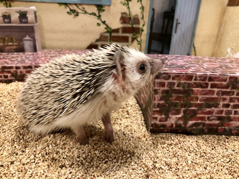 A hedgehog being cute in a Hedgehog Cafe