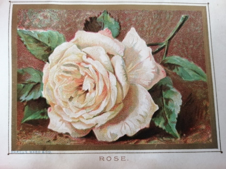 Image of a rose from book