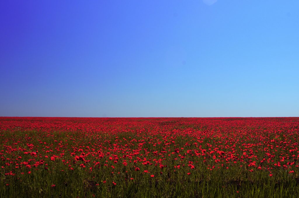 A photo of a field of poppies on the Crimean Steppe, taken by Warwick Ball.
